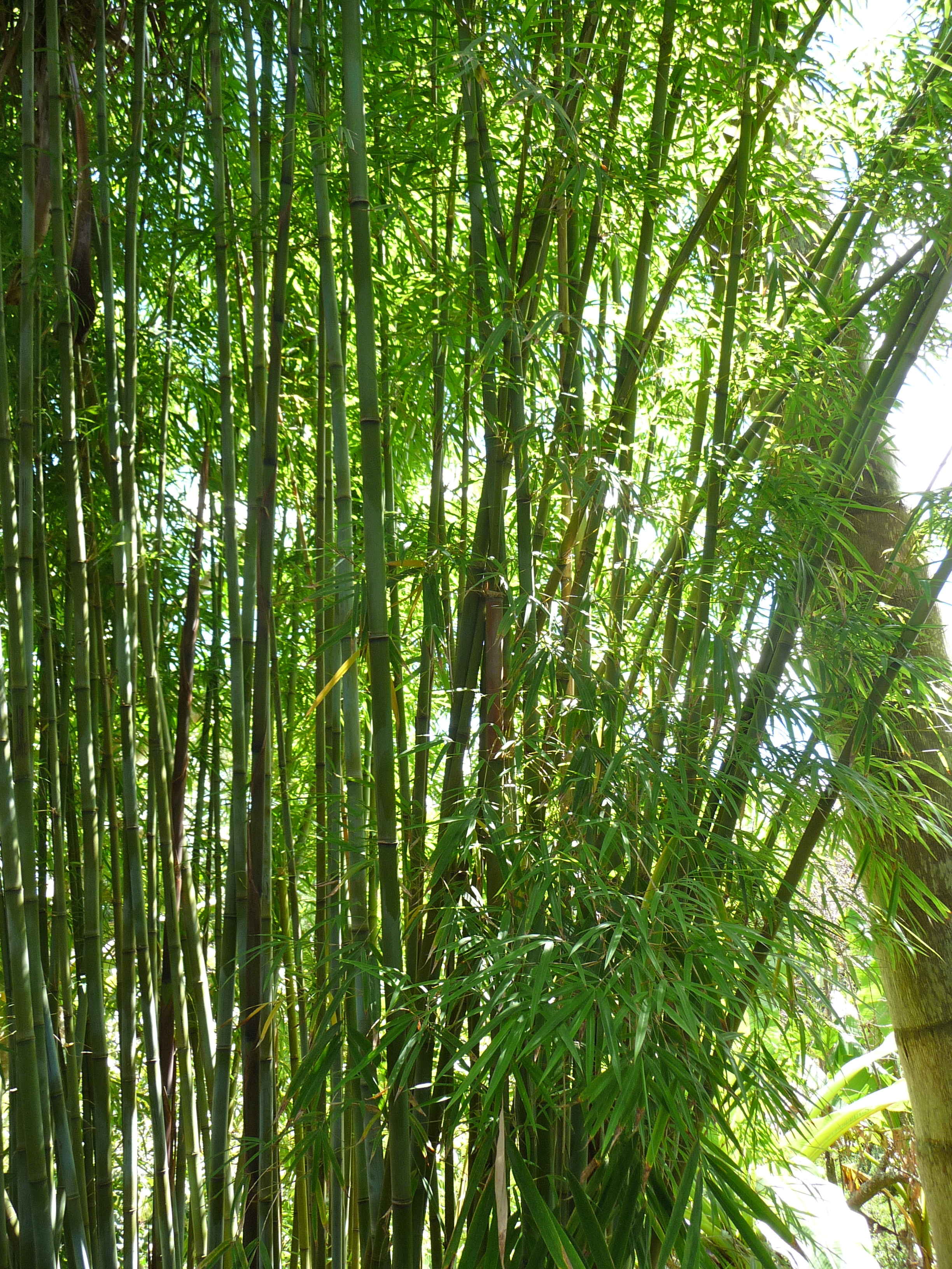 Bamboo species charlie s